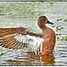 Blue Wing Teal X Cinnamon Teal Hybrid by billkominsky 