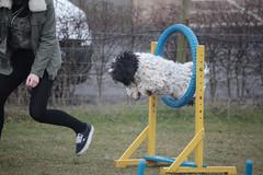 ostrich(0.0), flightless bird(0.0), bird(0.0), ratite(0.0), play(1.0), pet(1.0), dog agility(1.0),