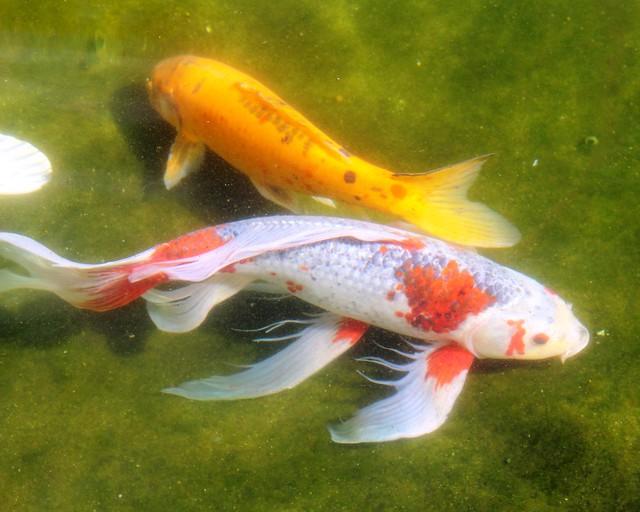 Beautiful koi fish flickr photo sharing for Beautiful koi fish