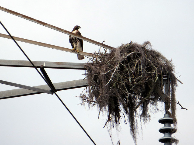 Red-tailed Hawk at Osprey nest