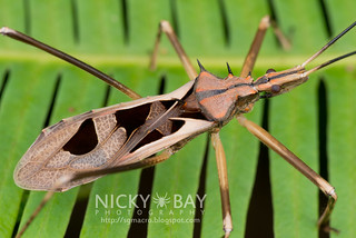 Assassin Bug (Reduviidae) - DSC_9186