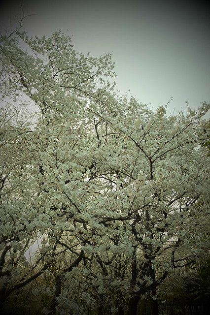 Sakura toy sky