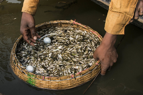 Filtering fish in Sunamganj, Bangladesh. Photo by Finn Thilsted, 2013.