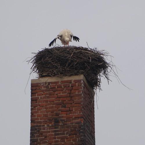 Storch angekommen im Ragower Horst
