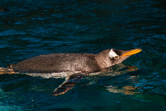 Swimming Gentoo penguin