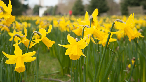 Daffodils on the Broad Walk