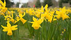 Daffodils on the Broad Walk