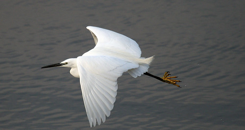 Egret On The Wing by karlentwm