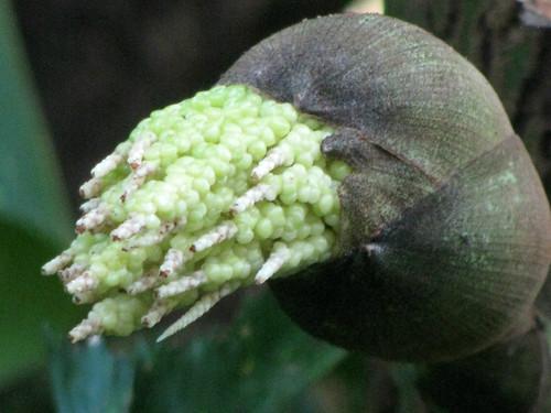 Fishtail Palm Bud