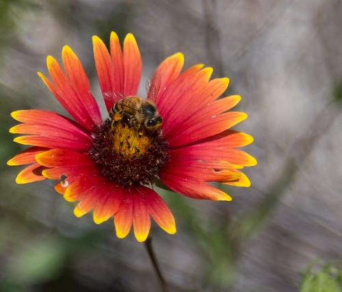 flower texas hiking bee wildflowers inkslakestatepark