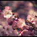 Sakura Berlin 2 by Mikedie1