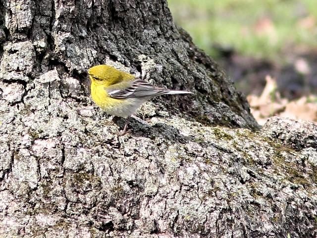 Pine Warbler COREL 2-20130424