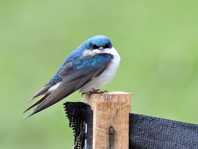 Tree Swallow 20130425