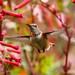 Allen's Hummingbird [Explored] by Bob Gunderson