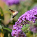 Hummingbird moth by andymanty
