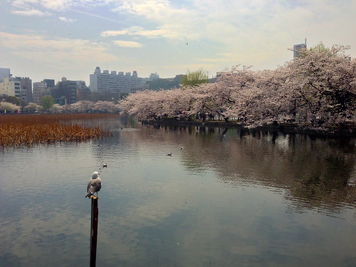 Tokyo's Ueno Park Cherry Blossom Shinobazu Pond