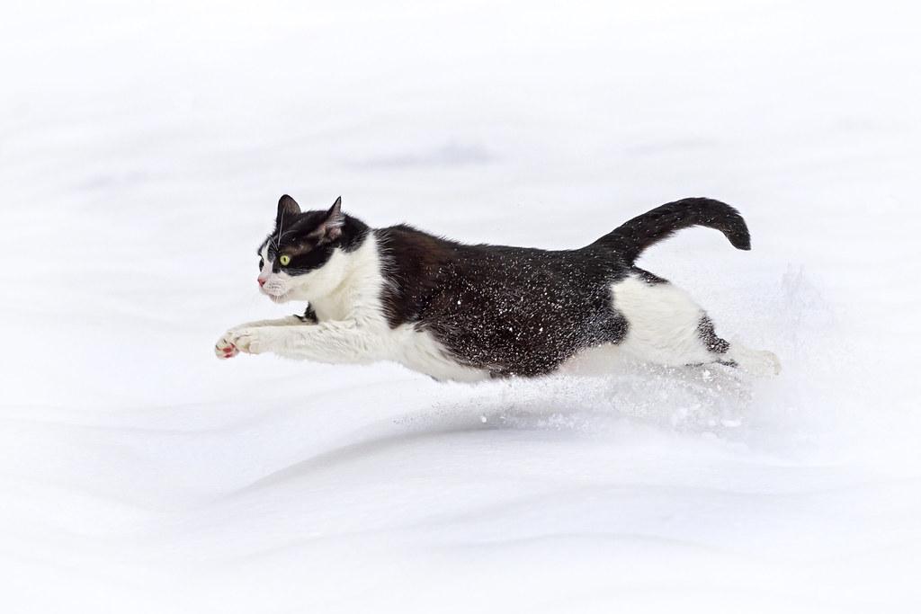 「走る 猫 フリー素材」の画像検索結果