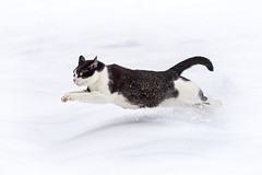 [Free Images] Animals (Mammals), Cats, Animals - Running, Snow ID:201304051000