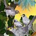Noisy Miners, White Hibiscus