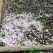 fallen blossoms #4