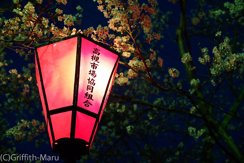 Look for Sakura trees in night