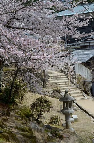Miyajima Sakura