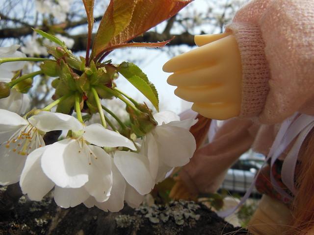 [Toulouse] Résine et fleurs de cerisier 8628550035_581e346595_z