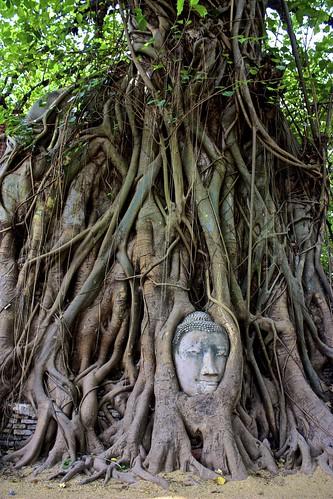 Buddha tree root at Wat Phra Mahathat