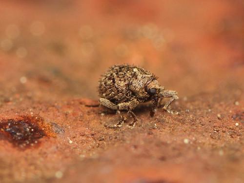 チビクチカクシゾウムシ Deiradocranus setosus