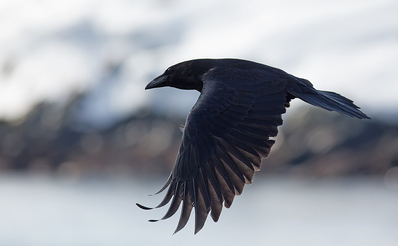 Raven - black birds are REALLY difficult to expose correctly