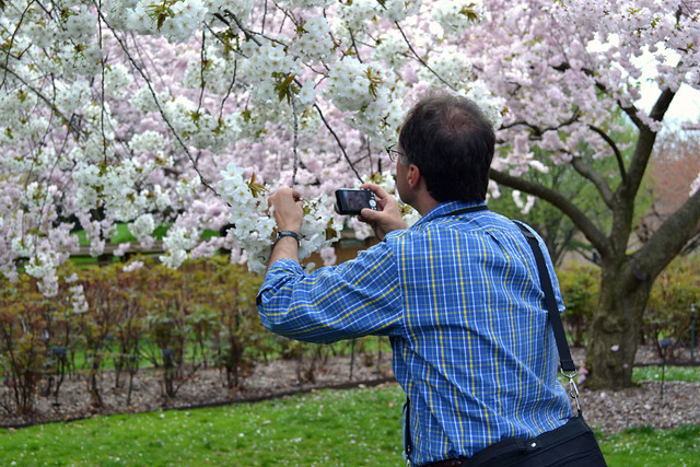 Aiello is gathering information about BBG's cherry trees, as well as others around the country,   including those in Washington, D.C. Photo by Elizabeth Peters.