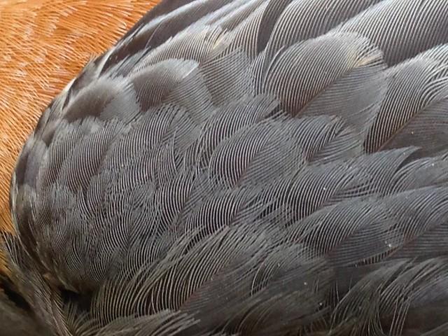 robin specimen IV