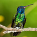 Golden-tailed Sapphire | Colibrí cola de oro (Chrysuronia oenone oneone) by ferjflores