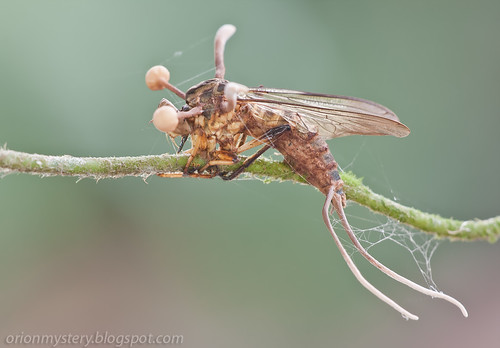 Robber fly with cordyceps fungus IMG_5612 copy