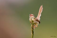 14褐頭鷦鶯