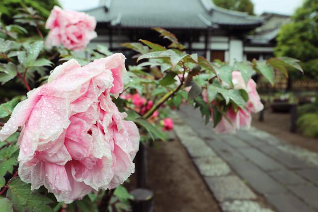 雨中の花弁