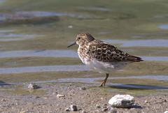 animal, fauna, red backed sandpiper, calidrid, sandpiper, beak, bird, lark, wildlife,