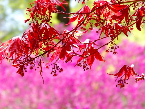 Spring Red Maple Leaves