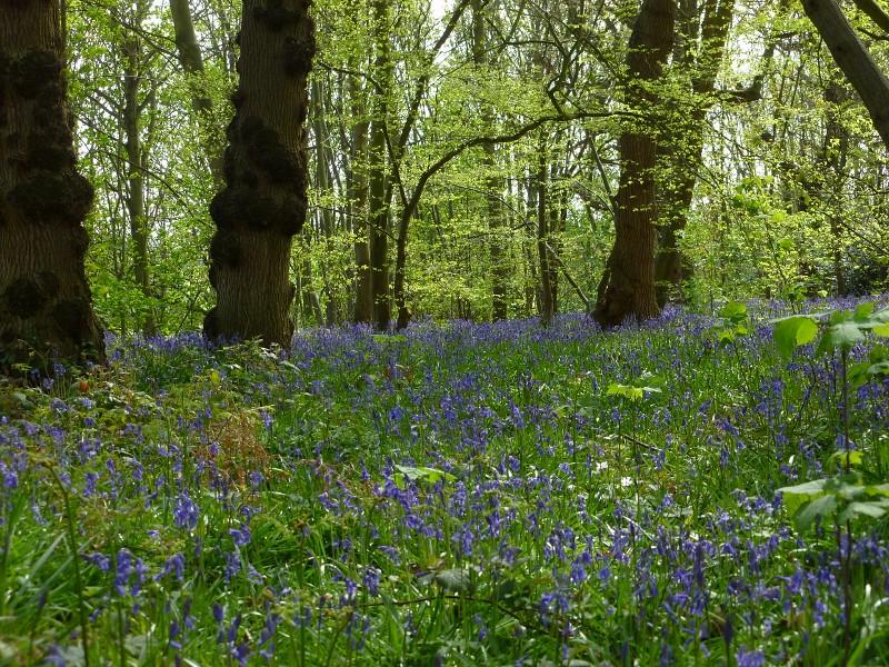 Early bluebells near Fordwich, Kent
