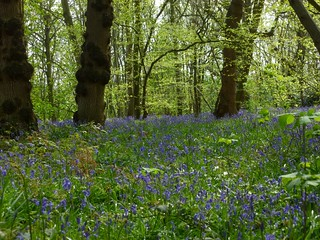 Early bluebells near Fordwich