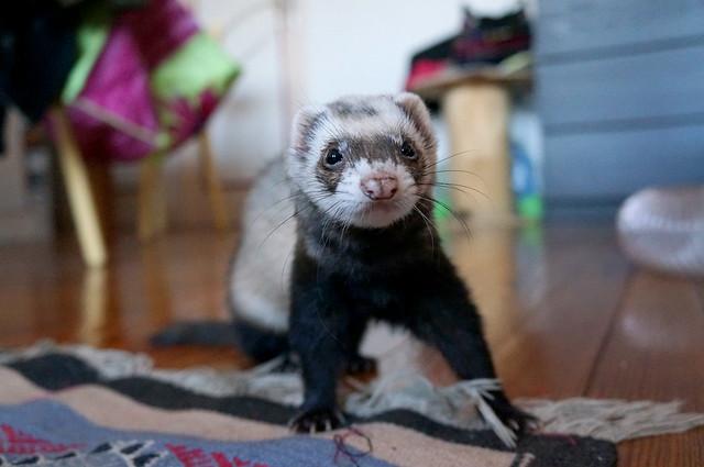 Photo of Ferret