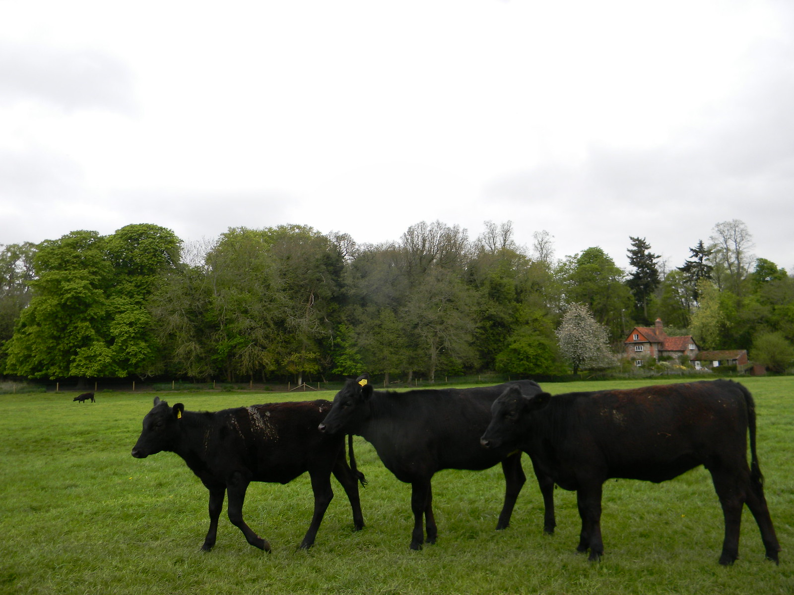 Black cows Shiplake to Henley