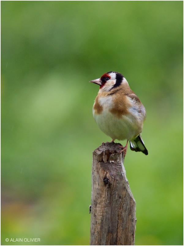 Chardonneret élégant - Carduelis carduelis - European Goldfinch 8714423150_bb463b7dae_c