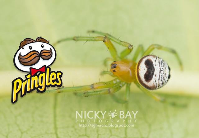 Araignée de jardin de rein (Araneus mitificus) - DSC_0931b