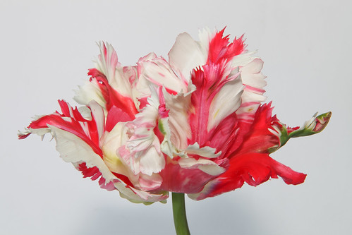 Red/white parrot tulip