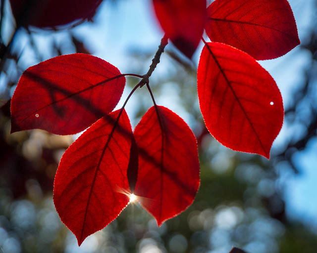 Red, Leaves, Leaf, Autumn, Fall, Colors