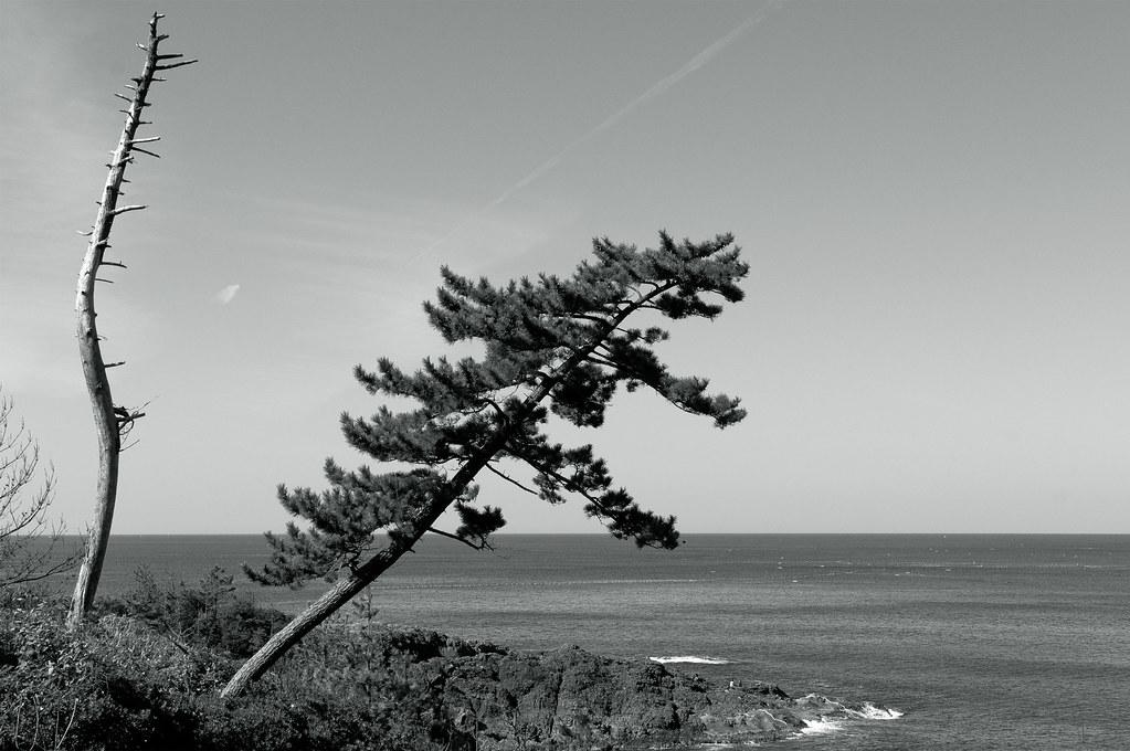 a pine tree|竹野郡丹後町筆石