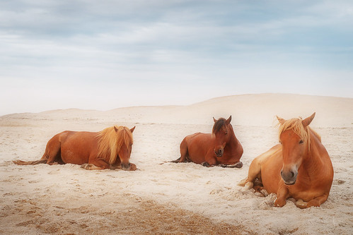 camping wild summer horses del sunrise island maryland pony national dell ponies campground seashore assateague 2014 delhiggins