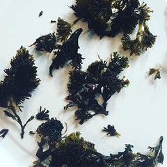 "pepper dulse-- fragrant and sparkly, the truffle of seaweeds according to ""fat hen forager and culinary educator"" caroline davey"