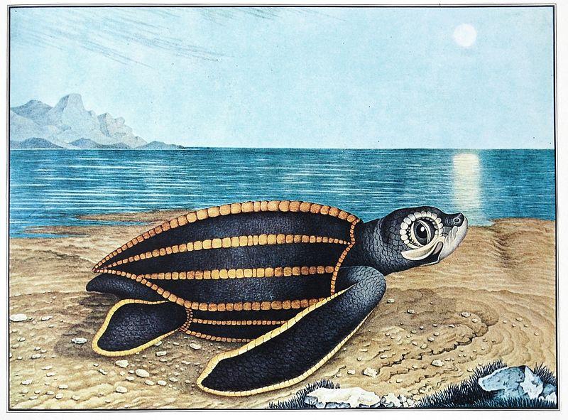 800px-Aloys_Zötl,_Die_Seeschildkröte